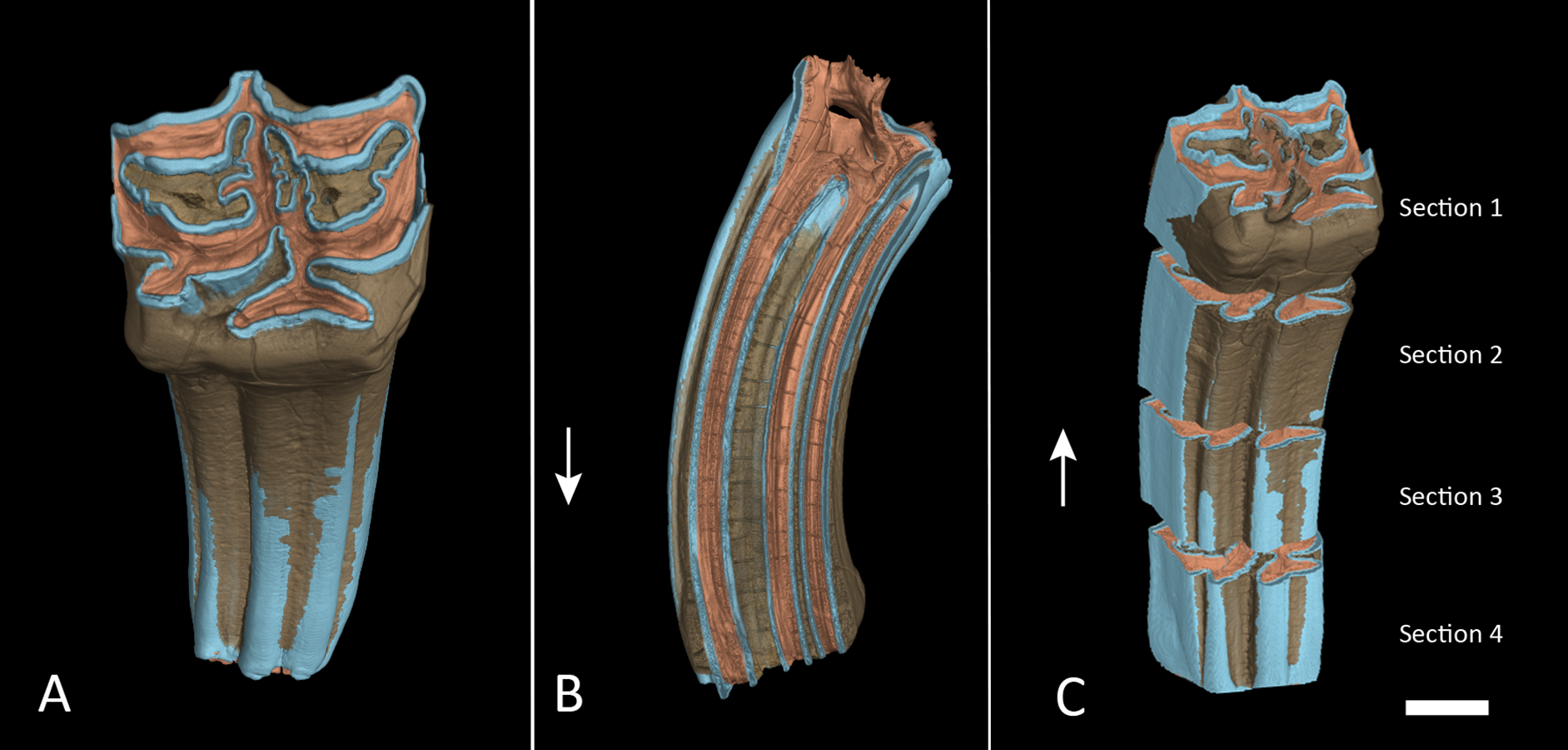 Uneven distribution of enamel in the tooth crown of a Plains Zebra ...