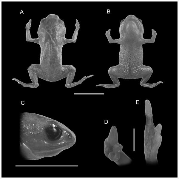 Holotype of Brachycephalus mariaeterezae (MHNCI 9811).
