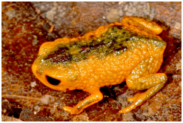 Brachycephalus fuscolineatus in life.