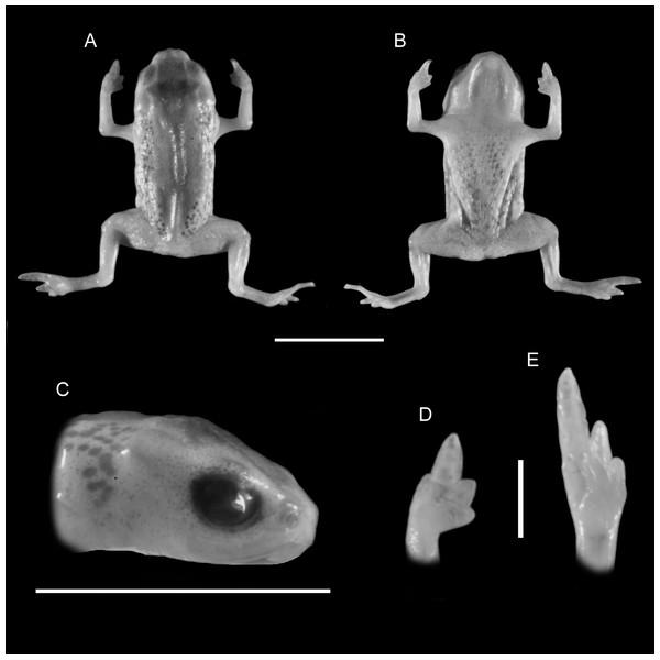 Holotype of Brachycephalus leopardus (DZUP 490).