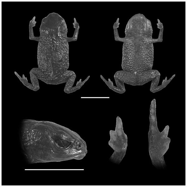 Holotype of Brachycephalus olivaceus (MHNCI 9813).