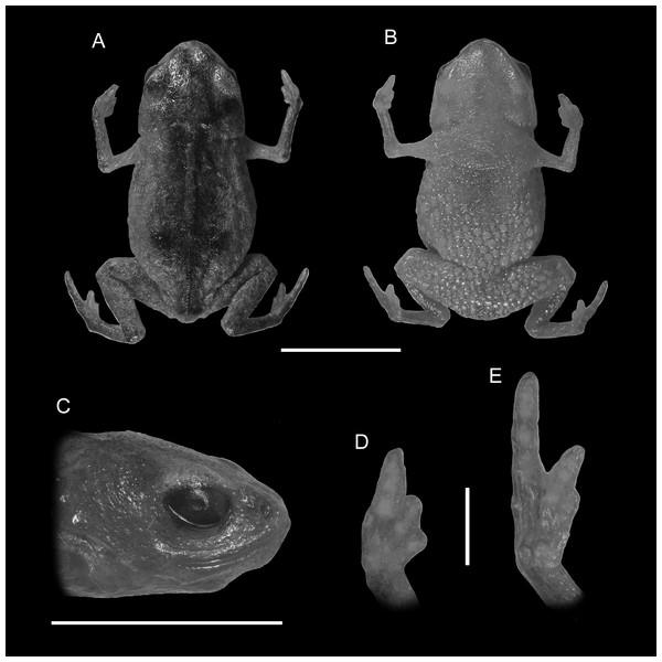 Holotype of Brachycephalus fuscolineatus (DZUP 159).