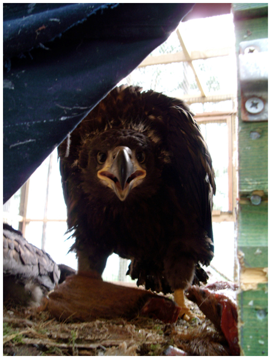 Leadership And Management Influences The Outcome Of Wildlife Bald Eagle Diagram Golden Related Keywords Suggestions Sea Pre Release On Its Nest In Captivity Scotland 2009
