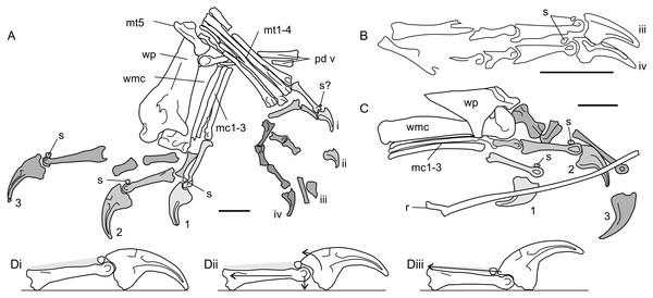 Antungual sesamoids in pterosaurs.