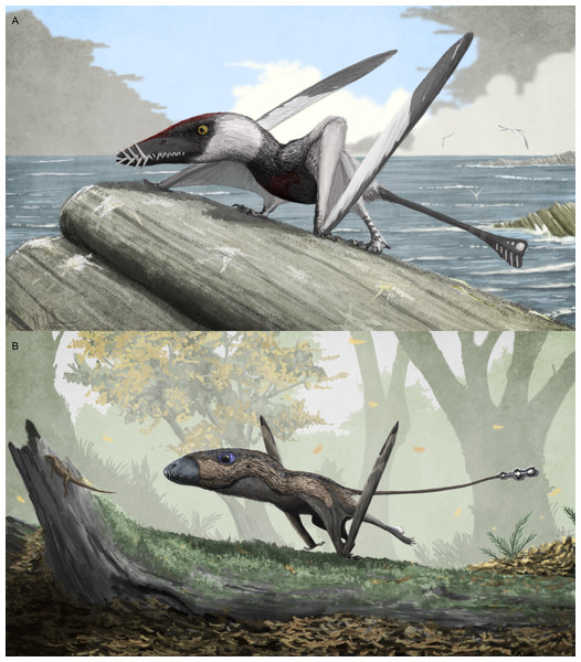 Potential variation in terrestrial locomotion gait in non-pterodactyloid pterosaurs.