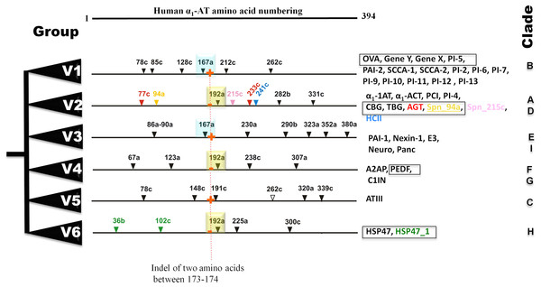 Summary of six groups (V1–V6) classification system of vertebrate serpins, based on introns and rare indels.