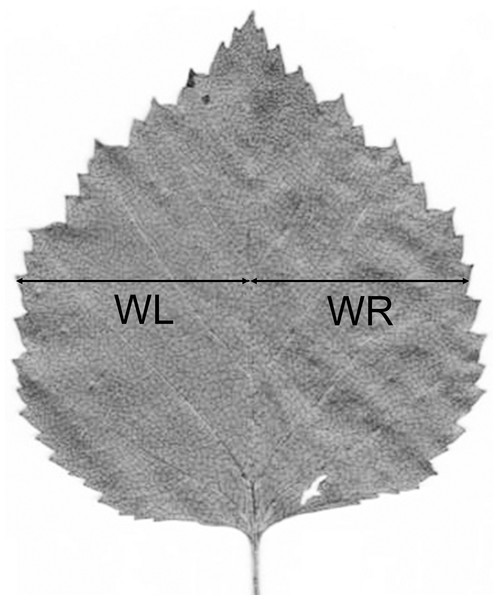 Measurements of a birch leaf for calculation of fluctuating asymmetry.