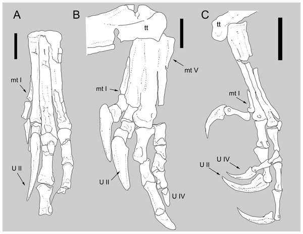 Comparison between the metatarsus of Balaur and other paravians.