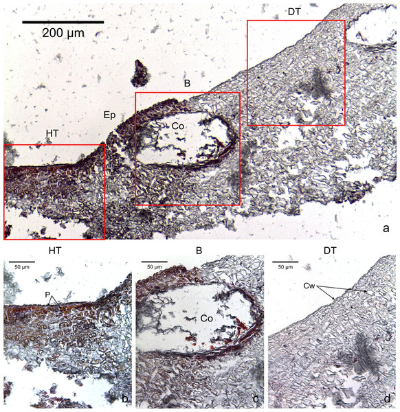 Transversal histological sections of the CCA, Hydrolithon boergesenii affected by CWPD stained in Sharman's (1943) stain.