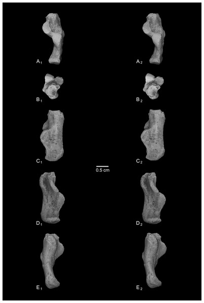 Stereopair images of NMB Eh 719, right calcaneus from Egerkingen fissure γ, attributed here to Caenopithecus lemuroides.