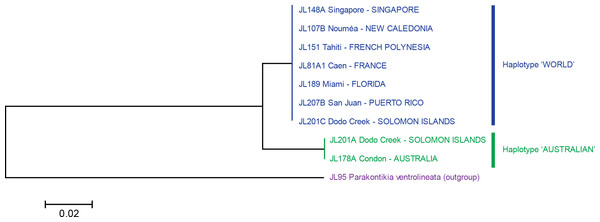 Platydemus manokwari: Tree based on short COI sequences.