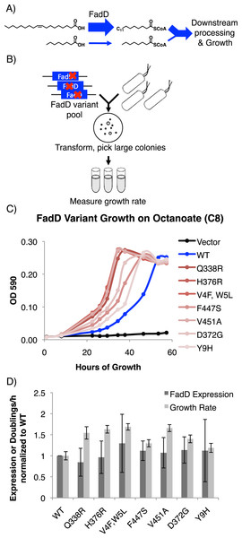 FadD mutants generated by error prone PCR increase E. coli ΔfadR growth rate on octanoate without increasing FadD expression.