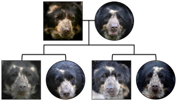 A photographic pedigree of captive-born Andean bears.