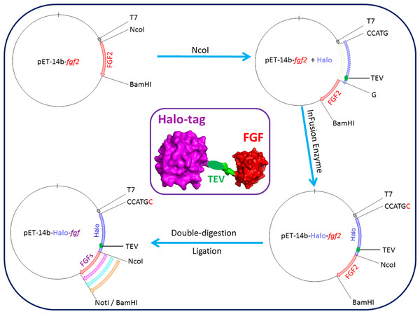 Cloning strategy for plasmids encoding Halo-FGFs.