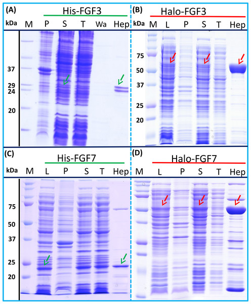 Expression and heparin binding-affinity chromatography of His-FGF3, His-FGF7, Halo-FGF3 and Halo-FGF7.