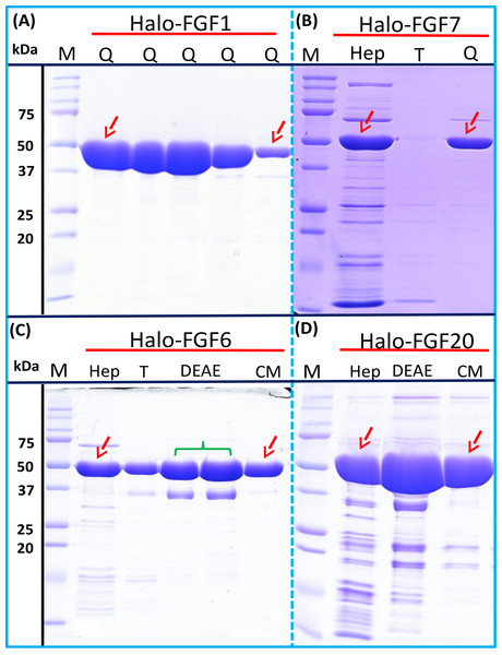 Further purification of the heparin affinity eluate of Halo-FGF1, Halo-FGF6, Halo-FGF7 and Halo-FGF20 by ion-exchange chromatography.