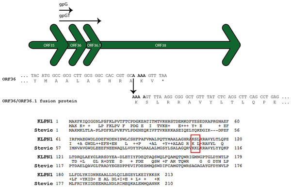 ORF36 and ORF36.1 are related by a programmed-1 translational frameshift.