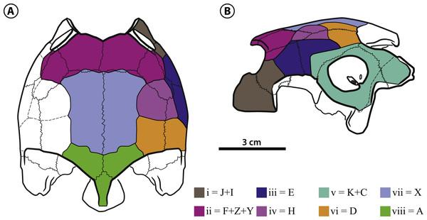 Bairdemys thalassica sp. nov.