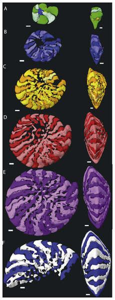 Chamber shape per whorl in specimen 06KW01_19.