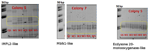 SSCP allelic polymorphism in IMP-L2-like, MBLK1-like and Ecdysone 20-monooxygenase-like.