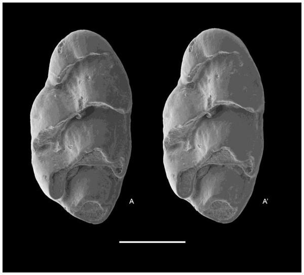 Leggadina macrodonta sp. nov. Paratype. QM F57268.