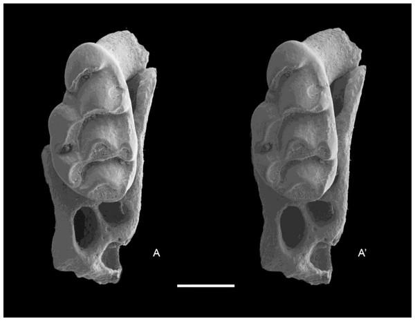 Leggadina macrodonta sp. nov. Paratype. QM F57275.