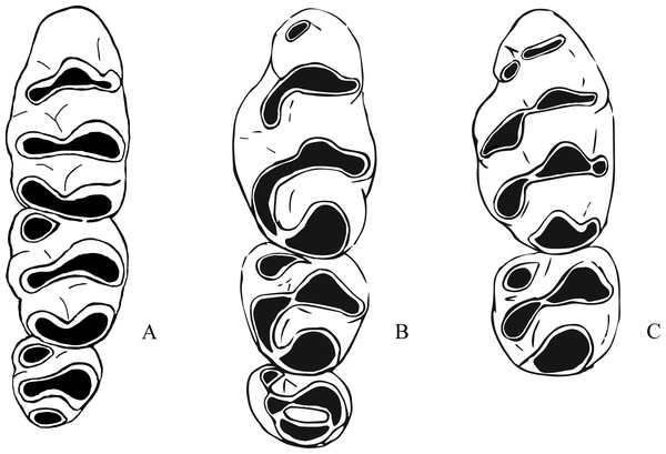 Morphological differences between fossil Leggadina species and Zyzomys.