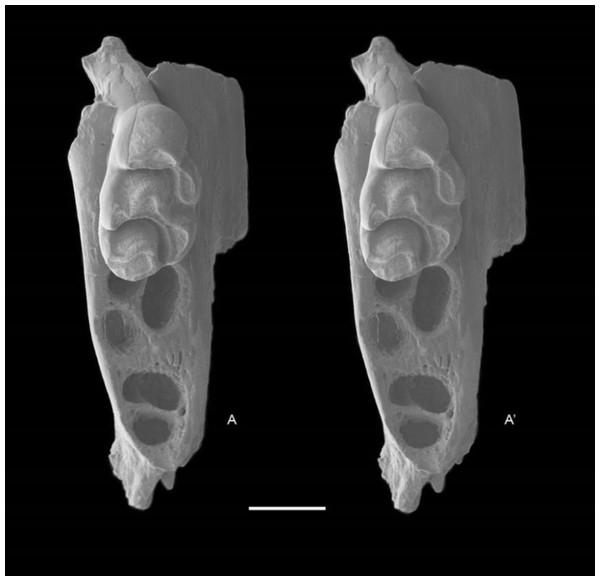 Leggadina gregoriensis sp. nov. Paratype. QM F57244.