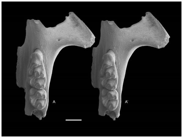 Leggadina gregoriensis sp. nov. Paratype. QM F57258.