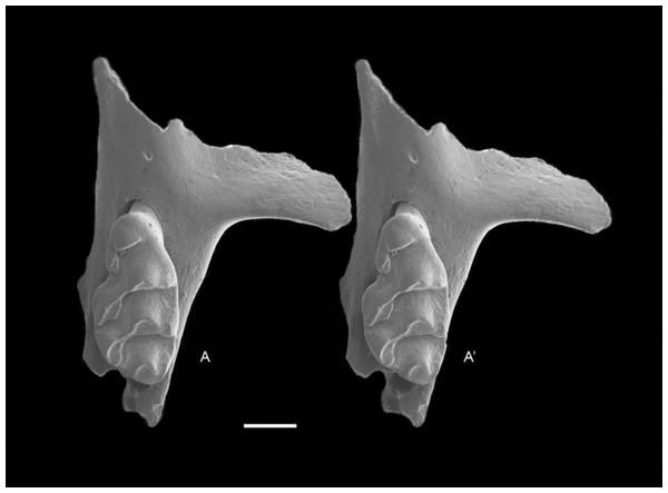 Leggadina macrodonta sp. nov. Holotype. QM F57276.