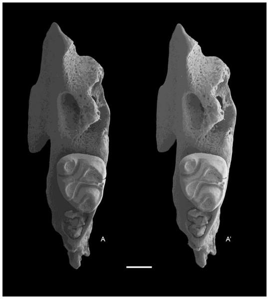 Leggadina macrodonta sp. nov. Paratype. QM F57273.