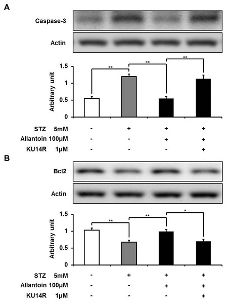 Western blotting analysis of the expression levels of caspase-3 and Bcl-2.