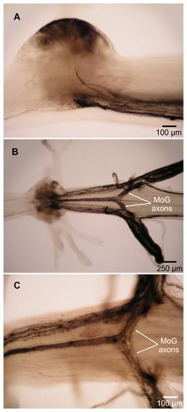 Motor giant (MoG) axons in L. setiferus.