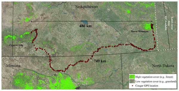 Long-distance dispersal of a sub-adult male cougar.