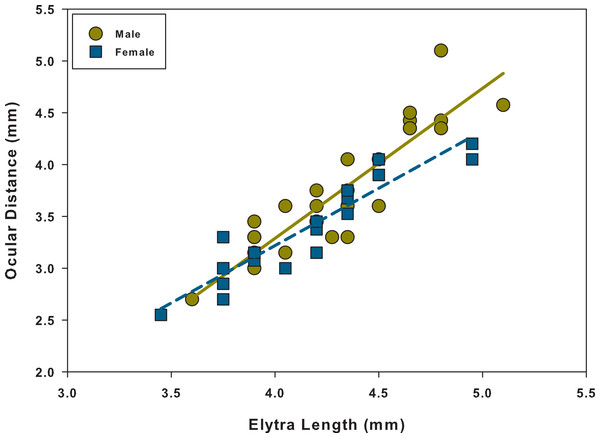 Scatter plot and linear regression between elytra length and ocular distance for males and females.
