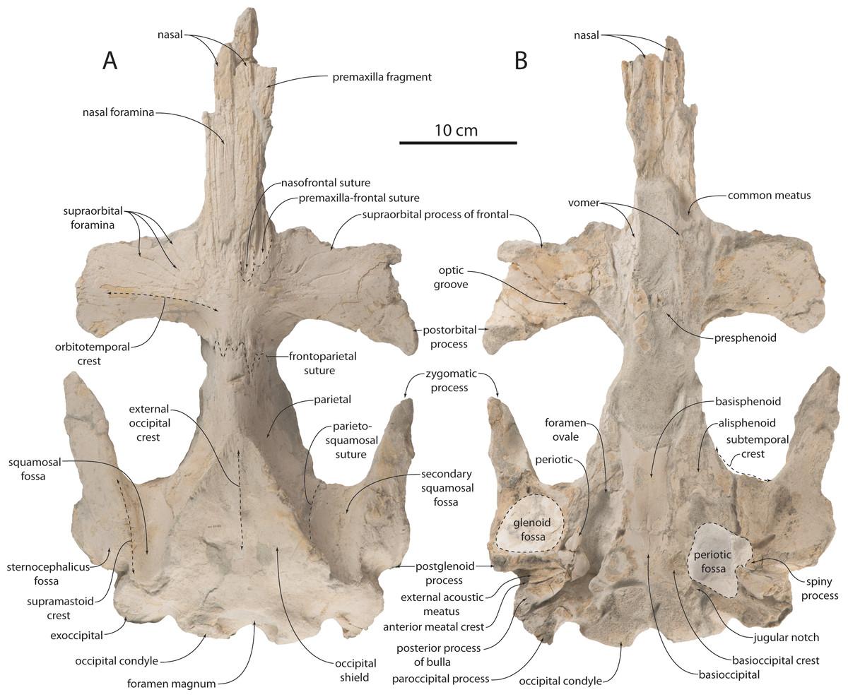 Anatomy, feeding ecology, and ontogeny of a transitional baleen ...