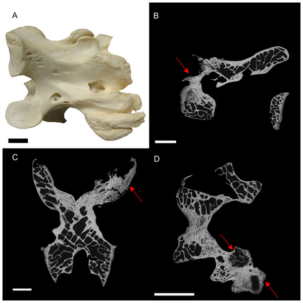 S. camelus (BHI 6241) cervical vertebra; photograph of the specimen in medial-lateral view (A) and XMT slices in medial-lateral (B), dorsal-ventral (C) and transverse (D) views.