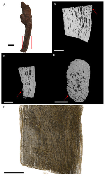 T. rex (BHI 3033) cervical rib; photograph of the specimen in rostral-caudal view (A), XMT slices in medial-lateral (B), rostral-caudal (C) and transverse (D) views, and 3D rendering in medial-lateral view (E).