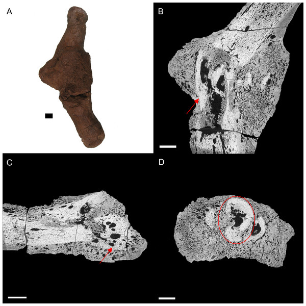 E. annectens (BHI 6191) metacarpal; photograph of the specimen in medial-lateral view (A) and XMT slices in medial-lateral (B), dorsal-ventral (C) and transverse (D) views.