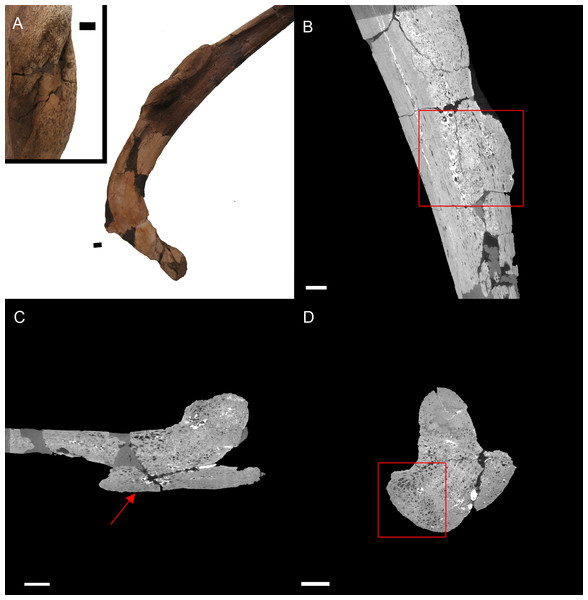 E. annectens (BHI 6184) dorsal rib; photograph of the specimen in rostral-caudal view with magnified image of the 'folded tissue' (A) and XMT slices in rostral-caudal (B), medial-lateral (C) and transverse (D) views.