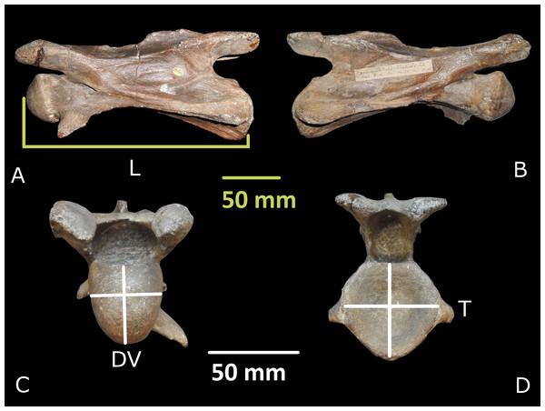 Giraffa sivalensis holotype, specimen OR39747.