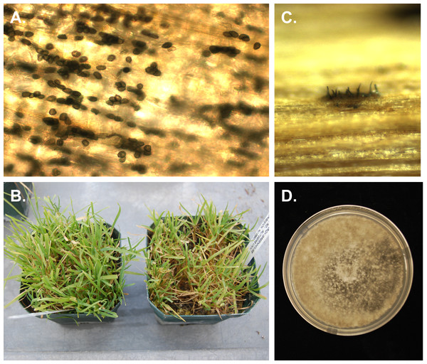 Photographs of Poa annua plants inoculated with Colletotrichum cereale.