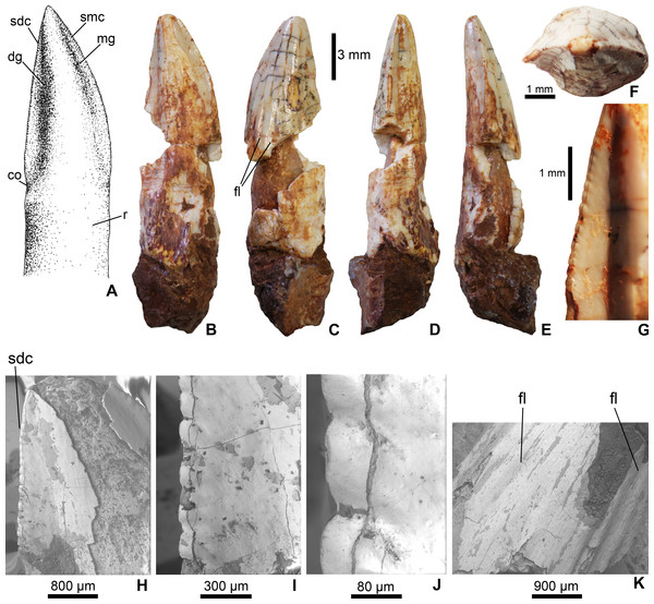 Mesoeucrocodylia indet. crocodyliform tooth (MFGI V 2015.90.2.1.) from the Lower Cretaceous (Lower Albian) Alsópere Bauxite Formation.