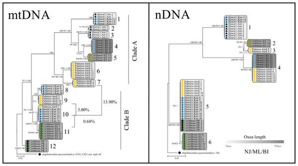 mtDNA and nDNA trees.