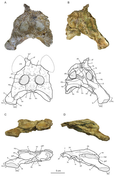 Skull of Allodaposuchus hulki sp. nov.