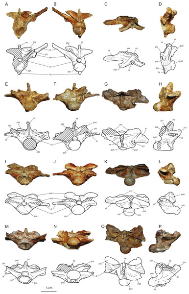 Axial elements of Allodaposuchus hulki and interpretative diagrams.