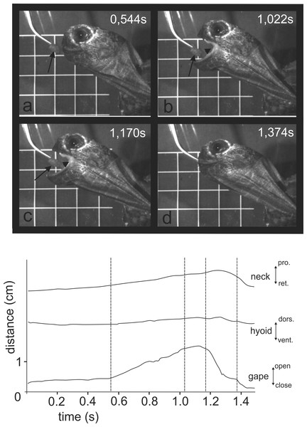 Selected frames and graphics (based on a high-speed video with 500 frs) represent the movements of jaws, hyoid and t head during terrestrial food uptake in Manouria emys when feeding on pieces of beef heart.