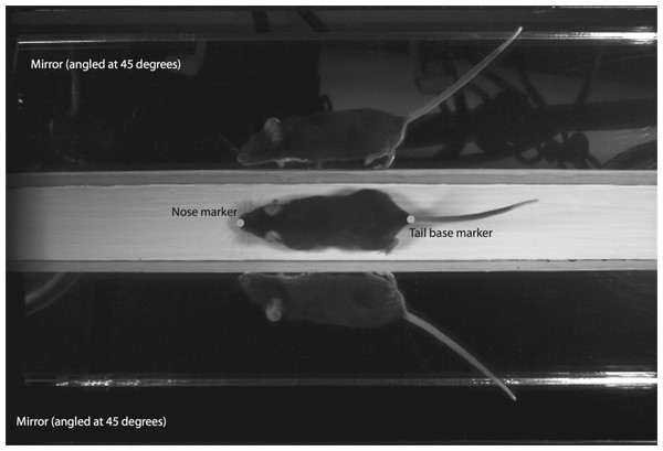 Sample frame from high-speed video analyses of mouse locomotion.