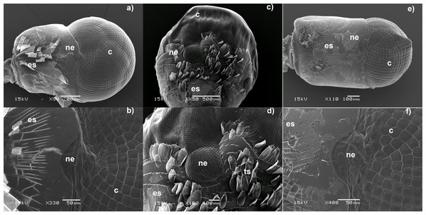 Electron micrographs of the dorsal region of Caridean eyes. (A–B) Cuapetes elegans, (C–D) Cinetorhynchus hendersoni.