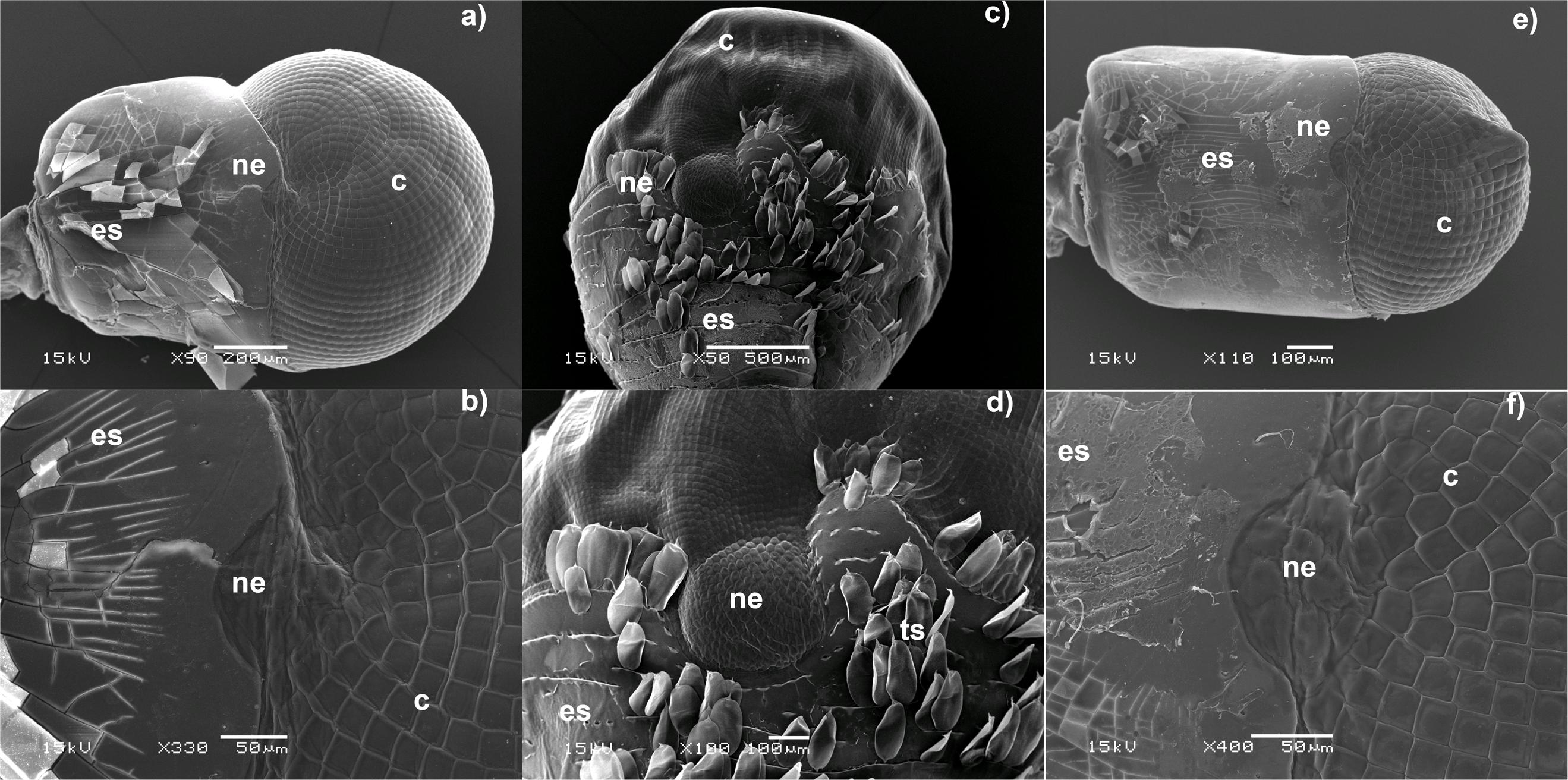 decapoda essay Sesarma angustipes (decapoda: grapsidae) mar  environment: essays on the  physiology of marine animals  armases ricordi and a roberti (decapoda.